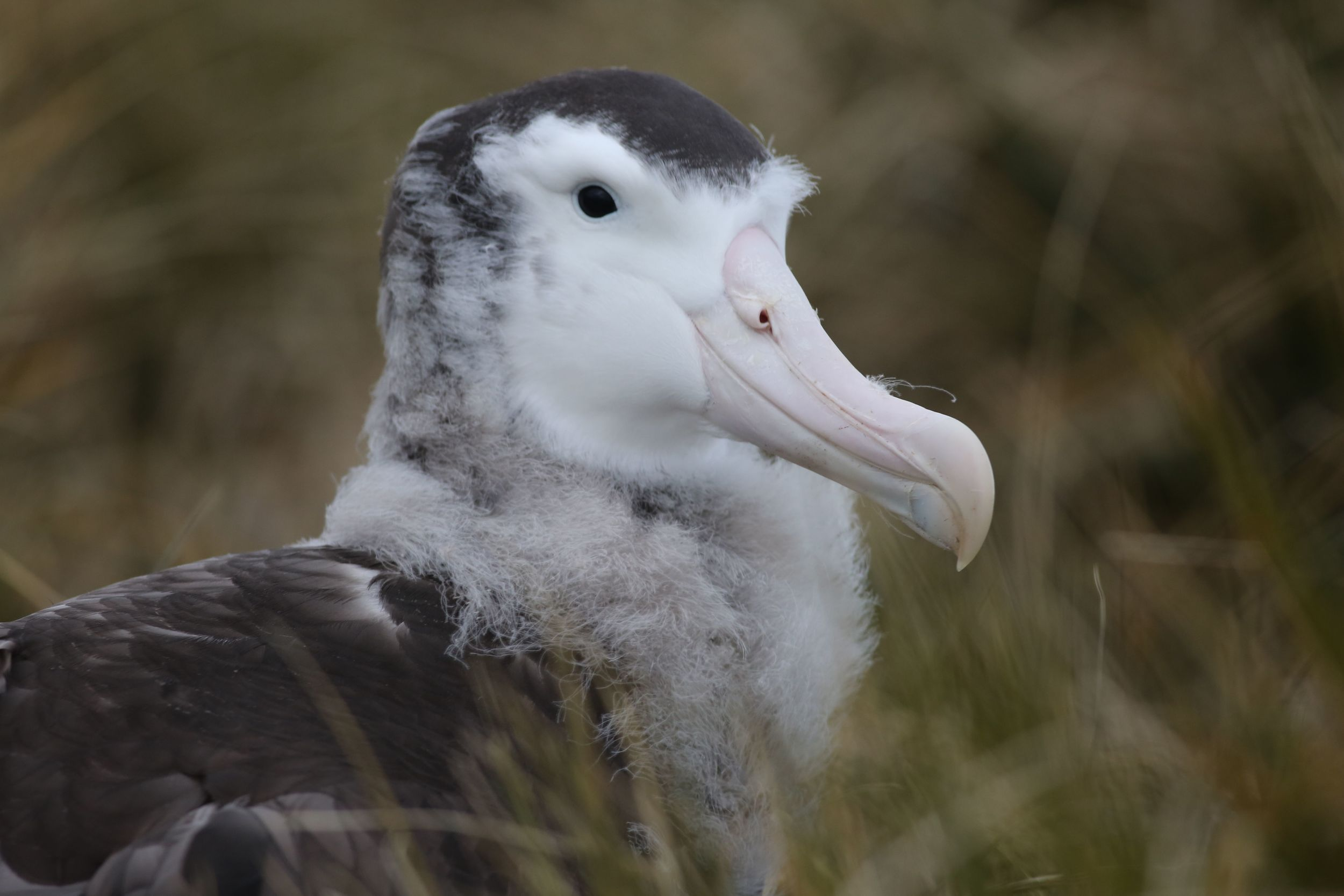 The wandering albatrosses that we saw on the nests were seven-month-old juveniles. Our ship ornithologist, Simon Boyes, affectionately called this one Albert. Young Albert had been waiting for days for his parents—amazing long-distance flyers, as all albatrosses are—to return from a 3,100-mile flight to the waters off Brazil to gather food that they would regurgitate to feed him.