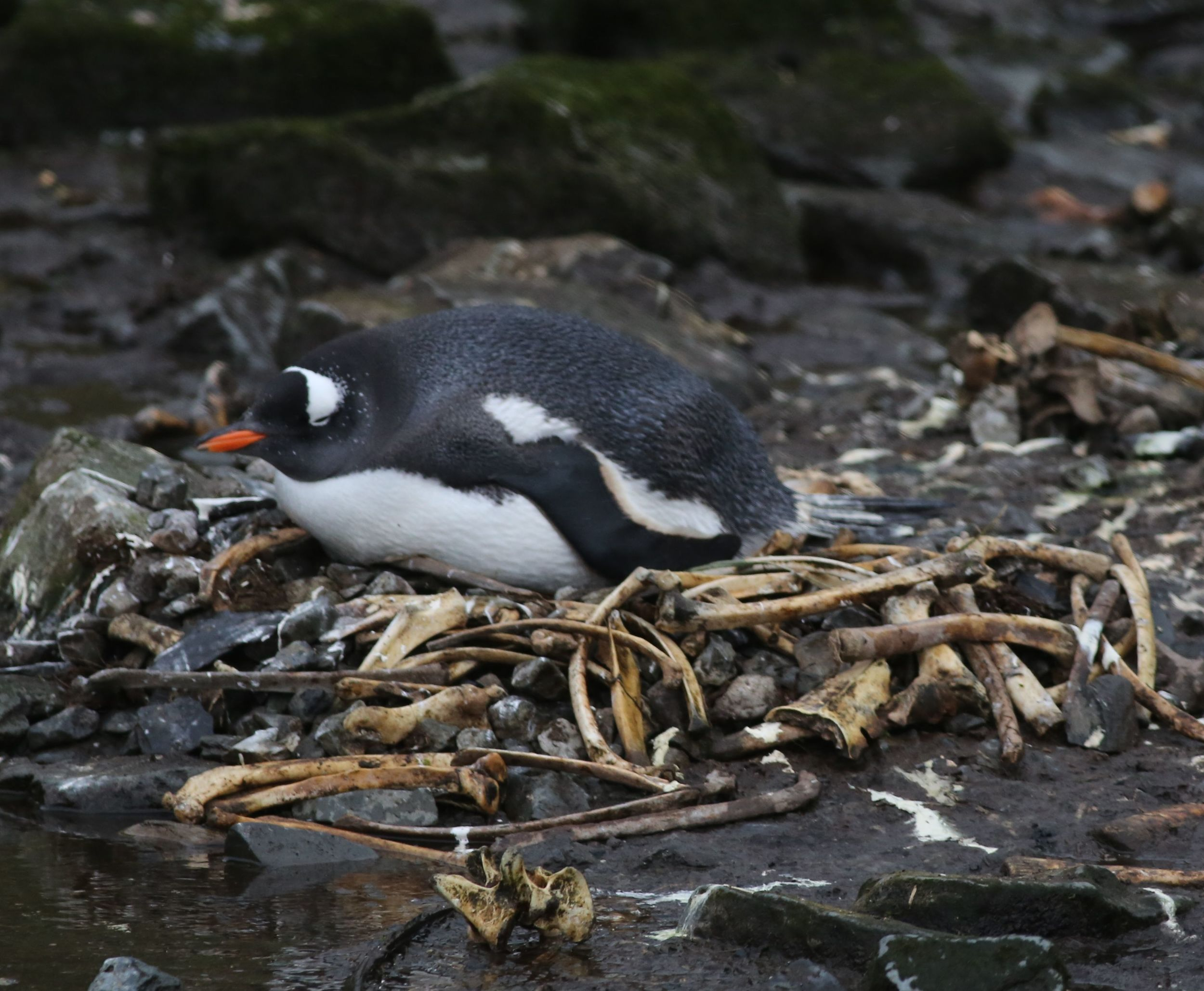 Yes, this gentoo's nest was made mostly of bones. Cue the horror music!