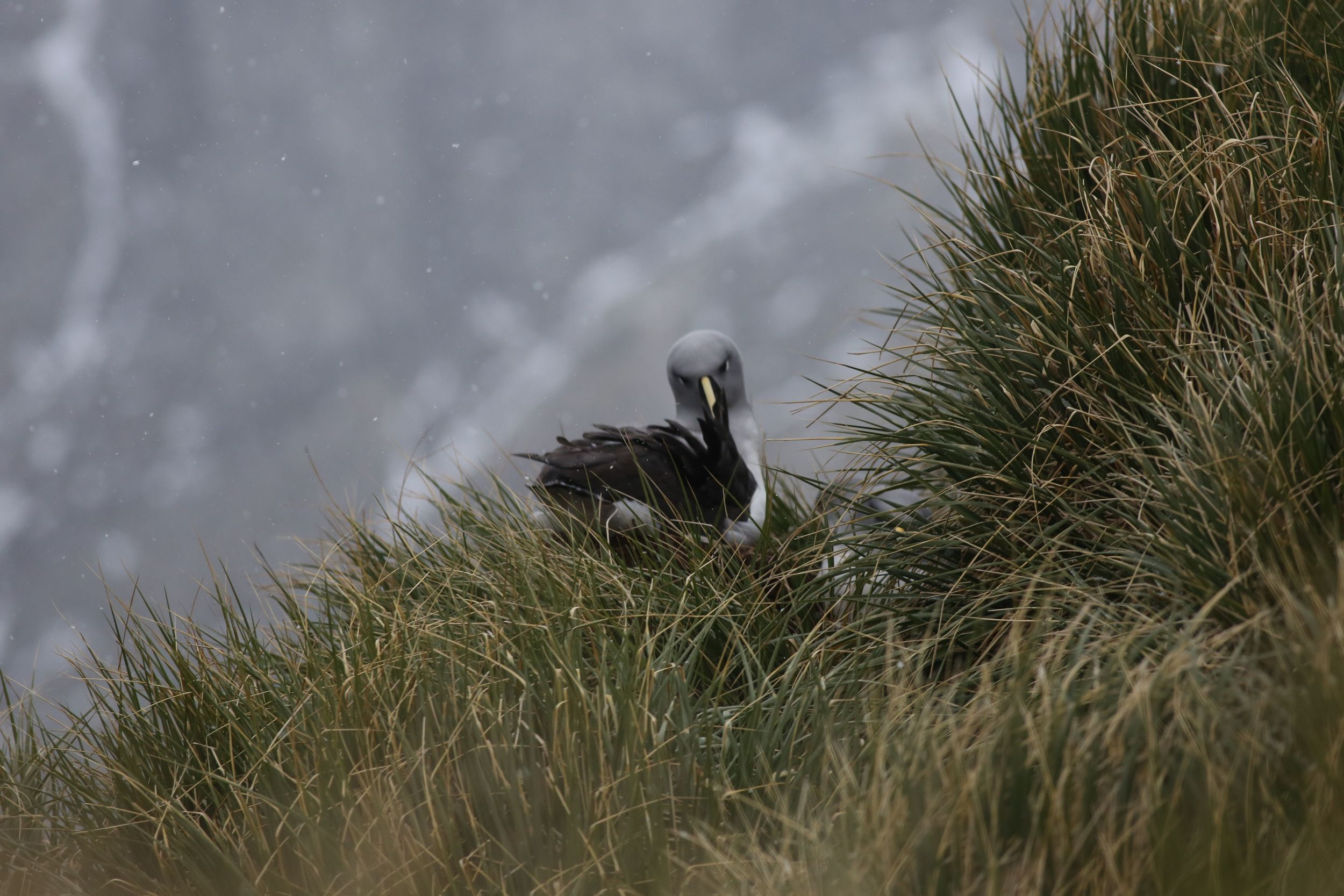 A nesting gray-headed albatross like this one lays one egg in a year. If the chick survives, its parents will take a year off before breeding again. In that year, these remarkable flyers might circle the globe more than once.