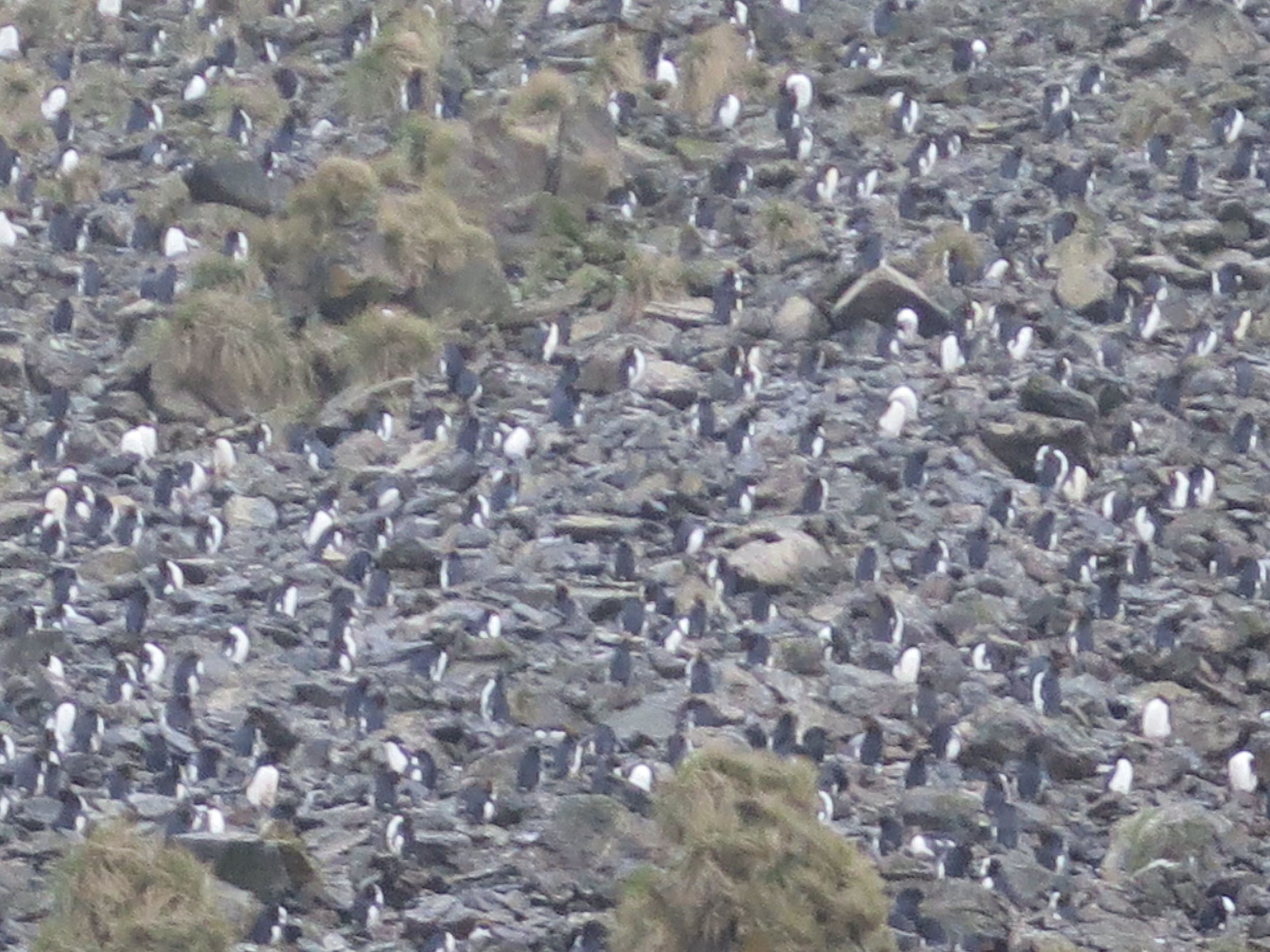 Here's a (blurry) closeup of the colony. Macaroni penguins are closely related to rockhopper penguins and share the ability to climb up steep rocky hills to reach seemingly inaccessible spots like this.