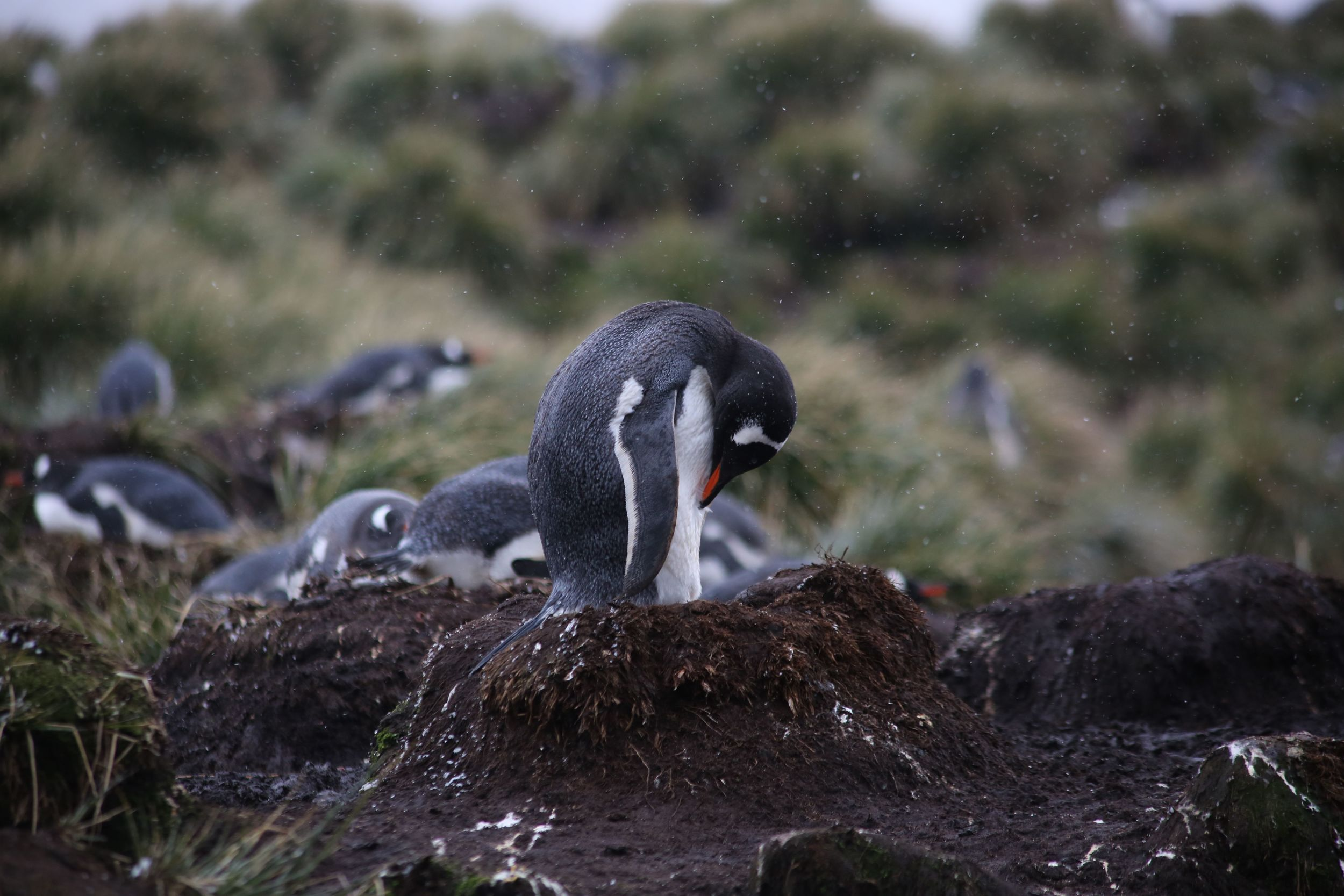 This shot gives a feel for the density of gentoo nests we saw.