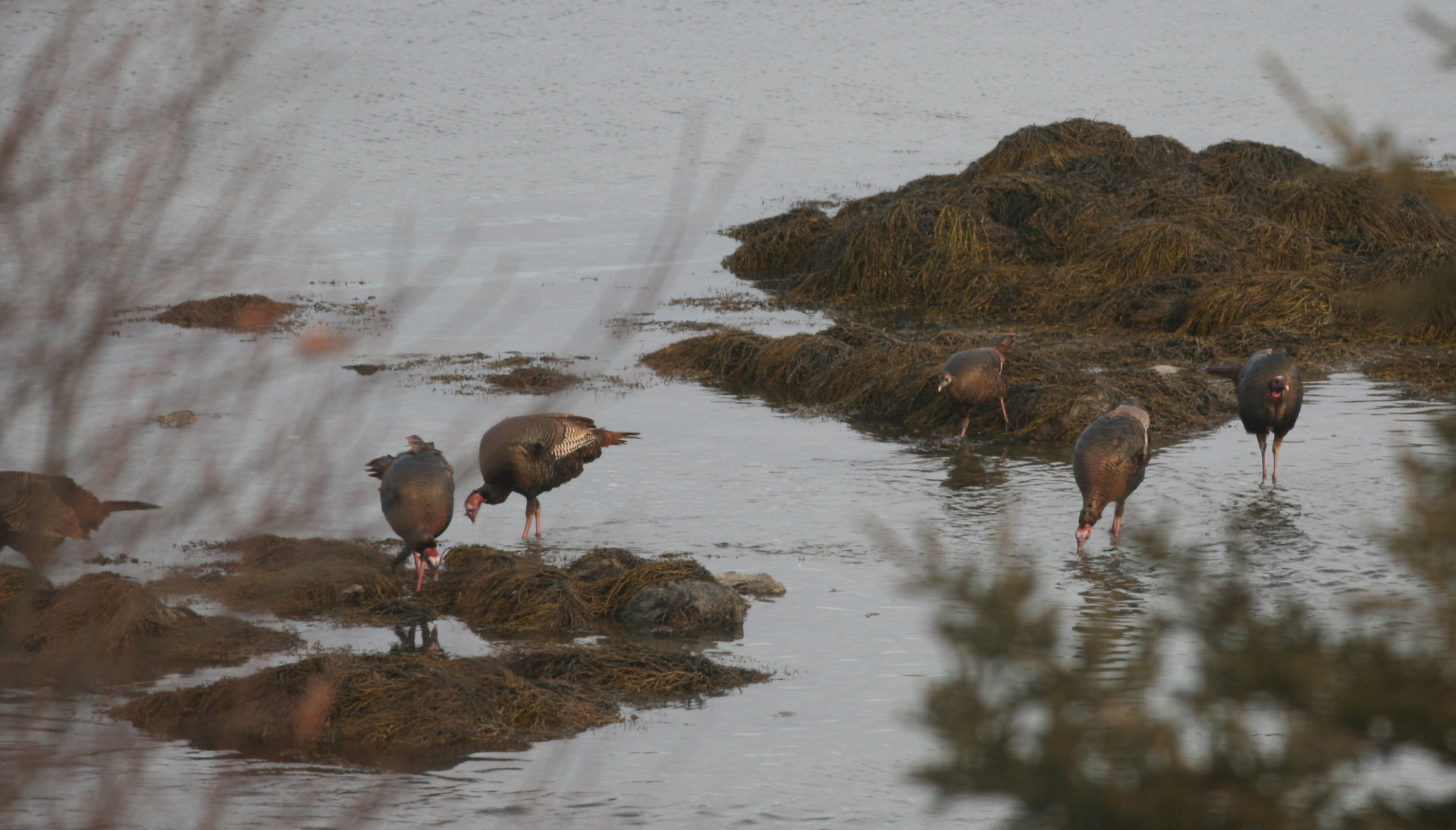Clearly not chicken, these self-brining wild turkeys went wading into the frigid Maine water at low tide.