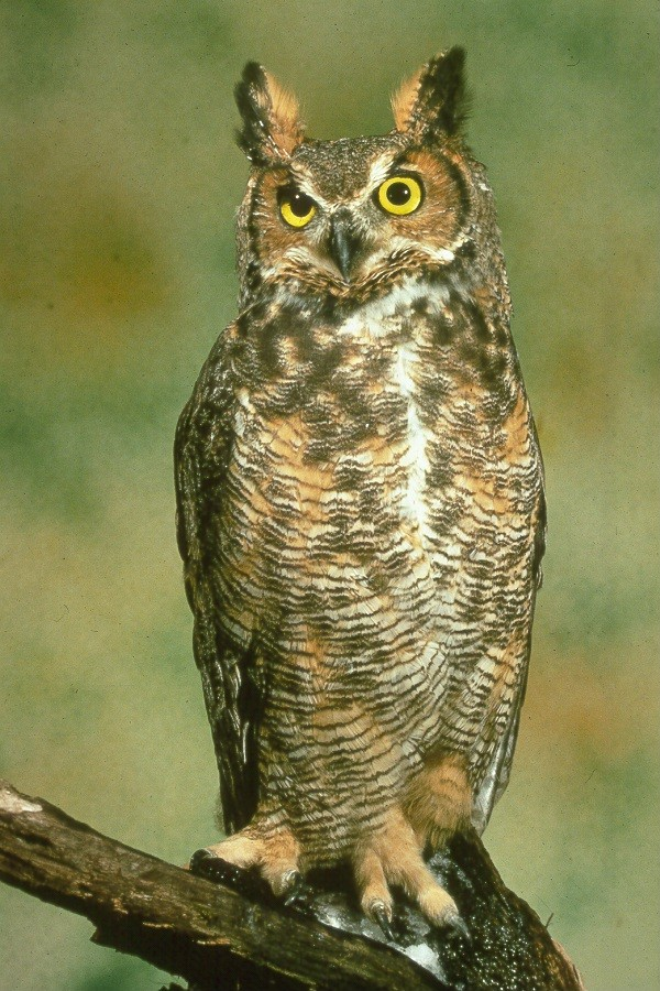 A great horned owl, hunting for a skunk?
