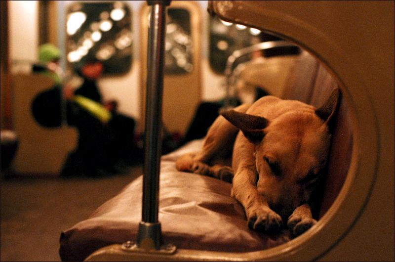 Russian rush hour: One of the Moscow canines riding the tube between the suburbs and the city center.