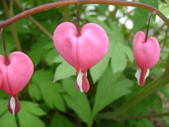 The bleeding-heart produces some of the world's best natural Valentines.