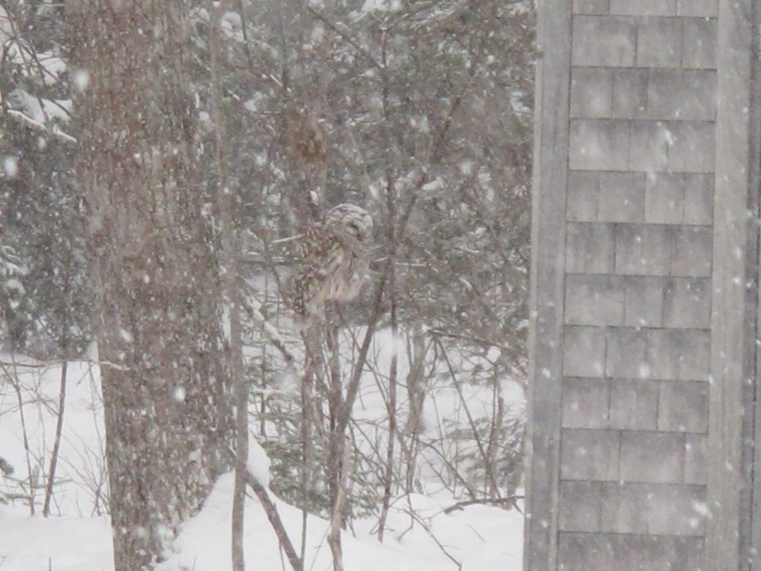 The owl hunting by the shed a few days earlier.