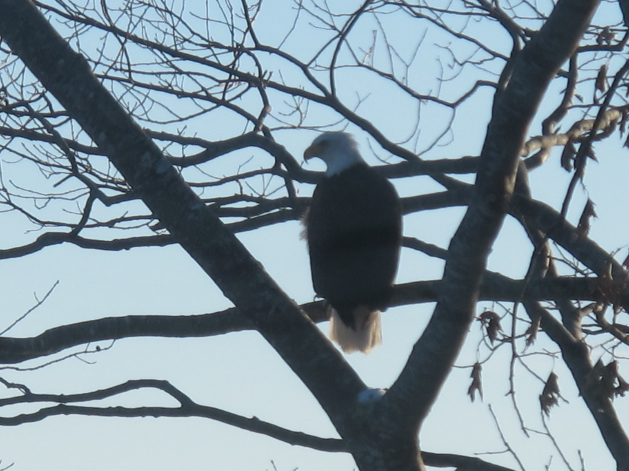 A bald eagle perched near the duck's frozen body but did not seem to notice it. Perhaps the cold eliminated any smell.
