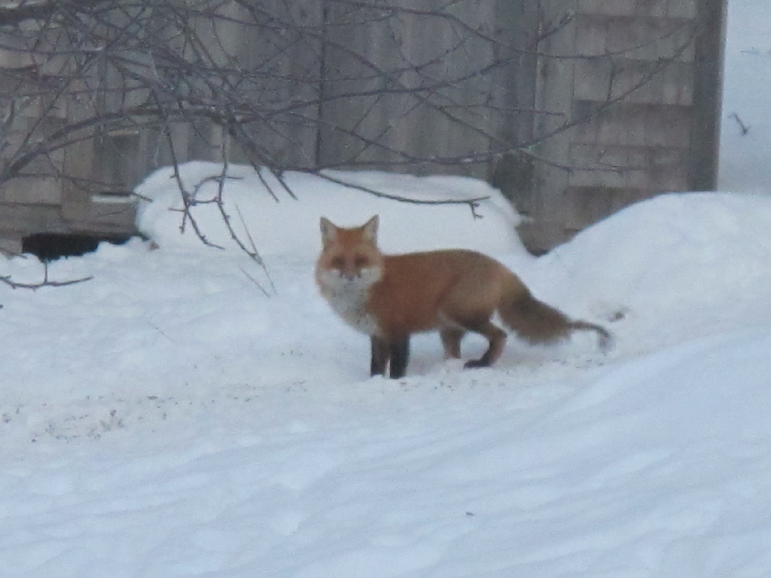 A fox also hung out around the house but ignored the frozen duck. As you can tell from the missing chunk of his tail, he's been through some battles of his own lately.