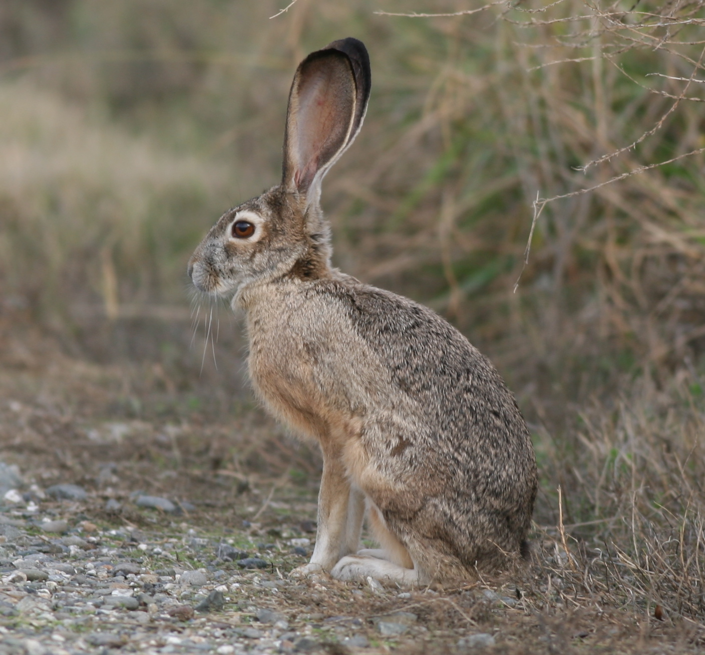 A black-tailed jackrabbit we saw at the Sacramento National Wildlife Refuge during our Pacific Flyway birding trip. Despite its name, this is a hare, not a rabbit.