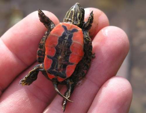 A painted turtle hatchling