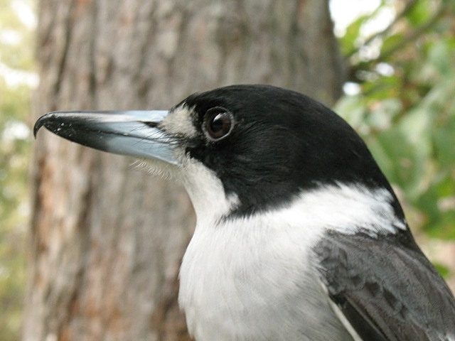 The butcherbird