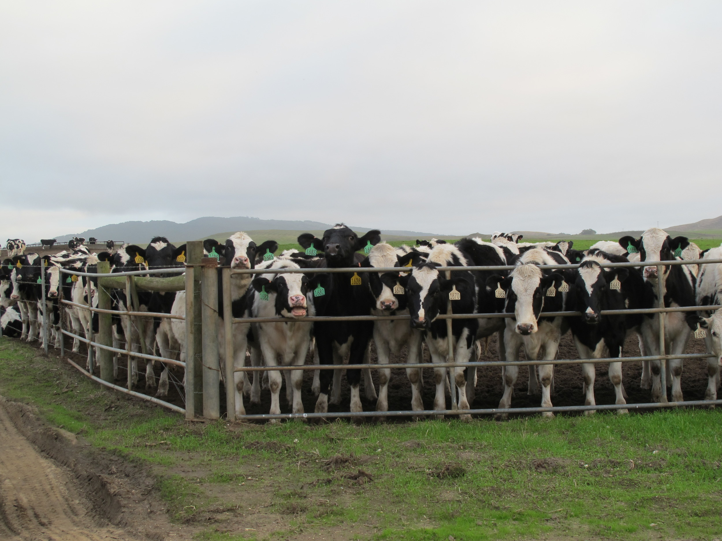 A dairy herd we passed in Point Reyes, California, on our birding trip.