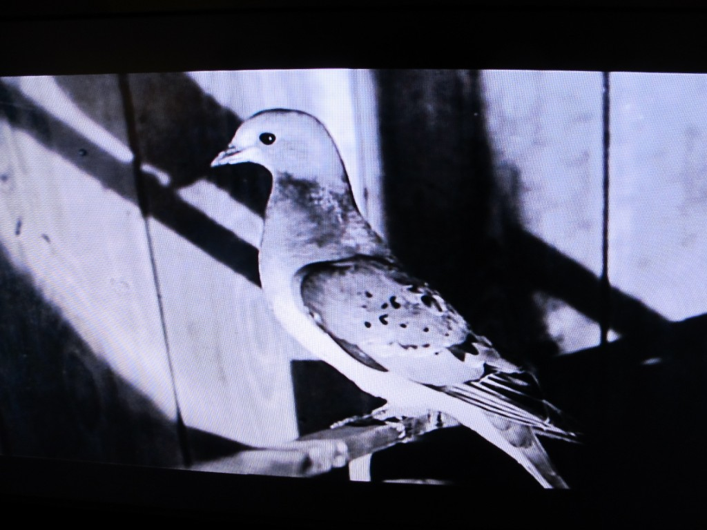 A shot of a too-often-shot species, the turtle dove's extinct cousin, the passenger pigeon.