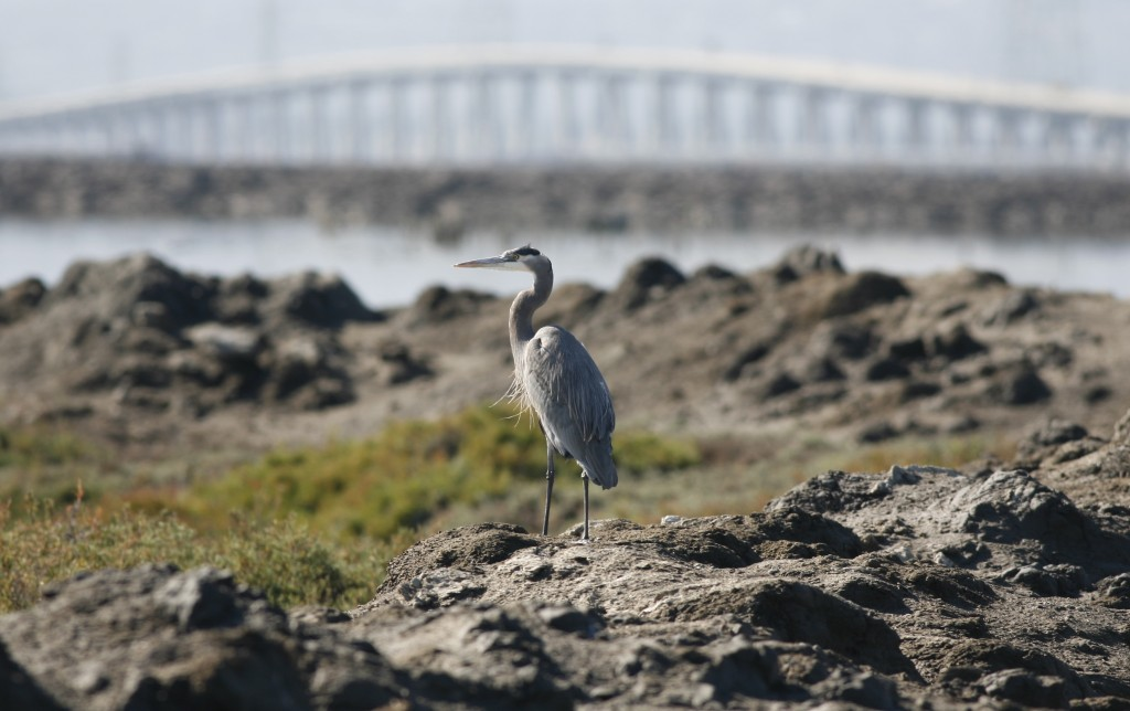 This great blue heron paid no attention to the hum of traffic on the nearby Dumbarton Bridge across San Francisco Bay.