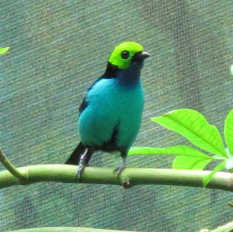 The most spectacular bird flying around the academy's rainforest exhibit was the paradise tanager, also known in Spanish as siete colores, or seven colors. The bird's wings are scarlet and yellow, adding to the black, green and three shades of blue elsewhere on him.
