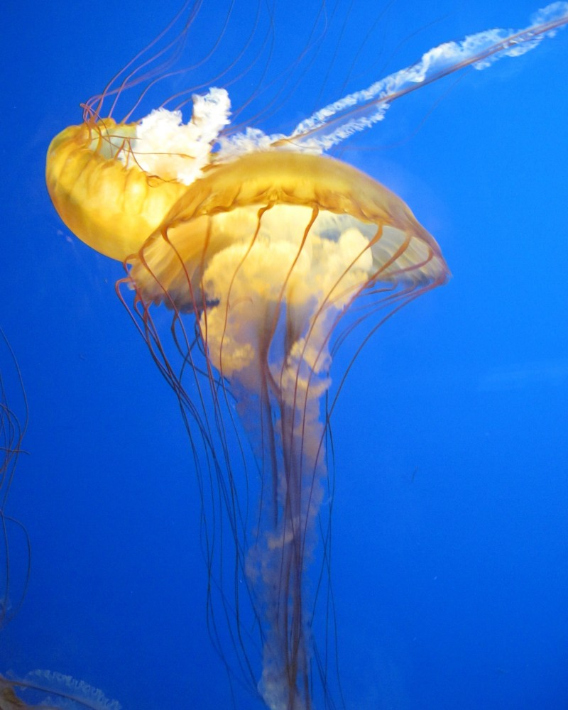 The academy's aquarium included these stinging sea nettles, which are carnivorous.
