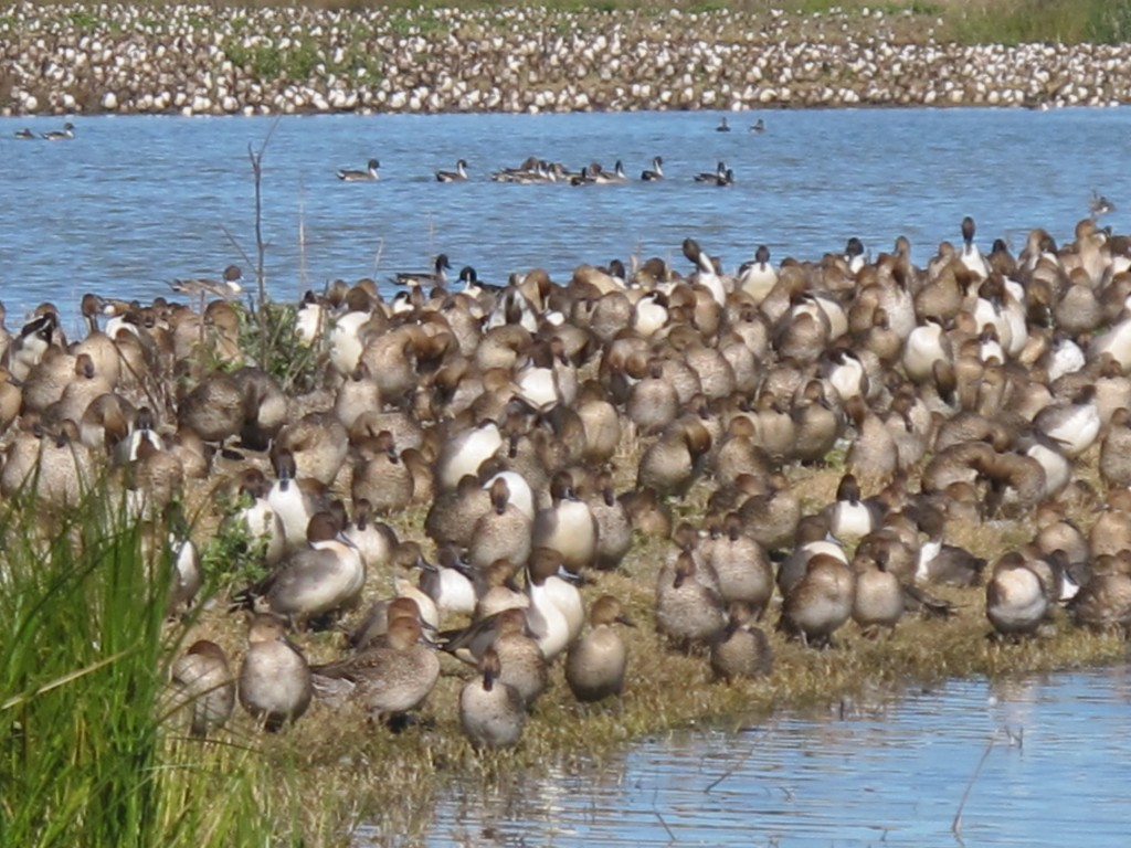 The Sacramento refuge is the wintering home for millions of migratory waterfowl. We made three visits to the refuge and were newly amazed each time. Around dusk the sky would almost blacken with incoming geese, ducks and swans.