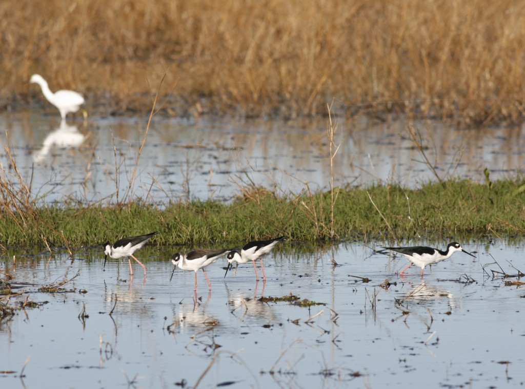 I love these birds, called black-necked stilts. They have, proportionately, the longest legs of any North American birds. We saw this group at the Yolo Bypass Wildlife Refuge, an urban oasis on the fringe of the city of Sacrament