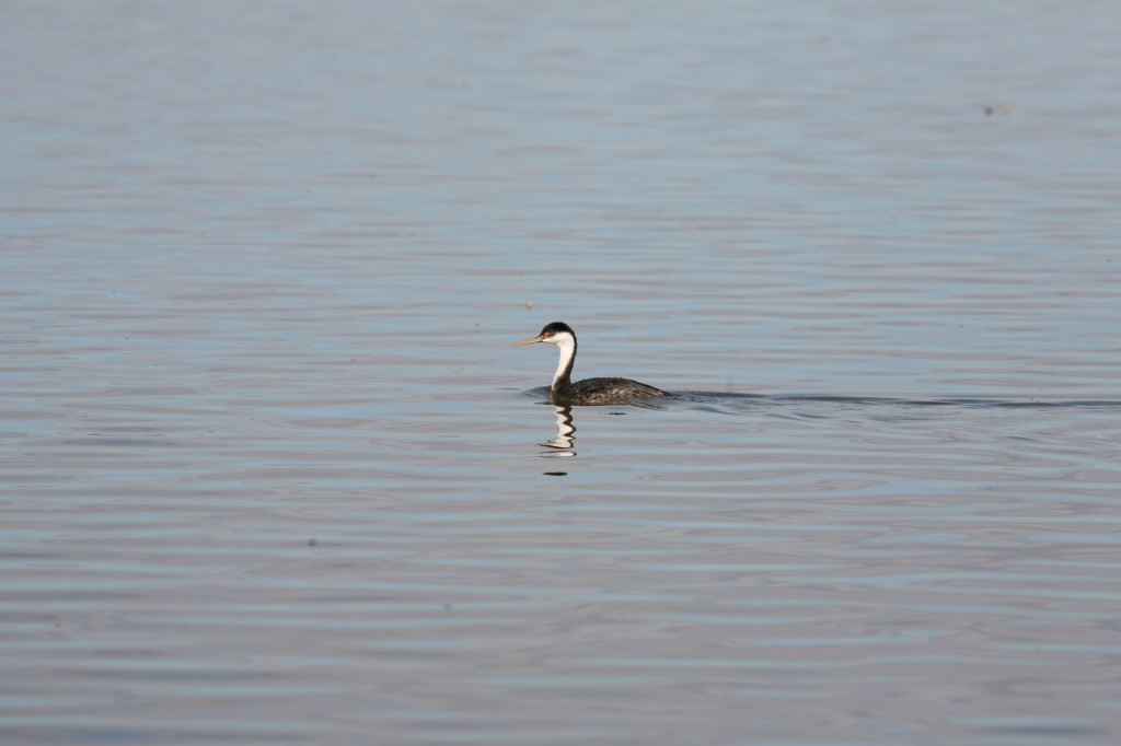 This is one of the Western grebes that we saw on Tule Lake. I am attaching a link below to a short video that shows their amazing mating dance.