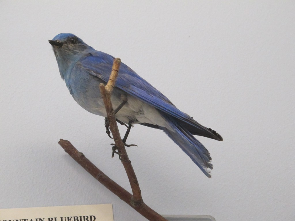 Here is the specimen of the mountain bluebird.
