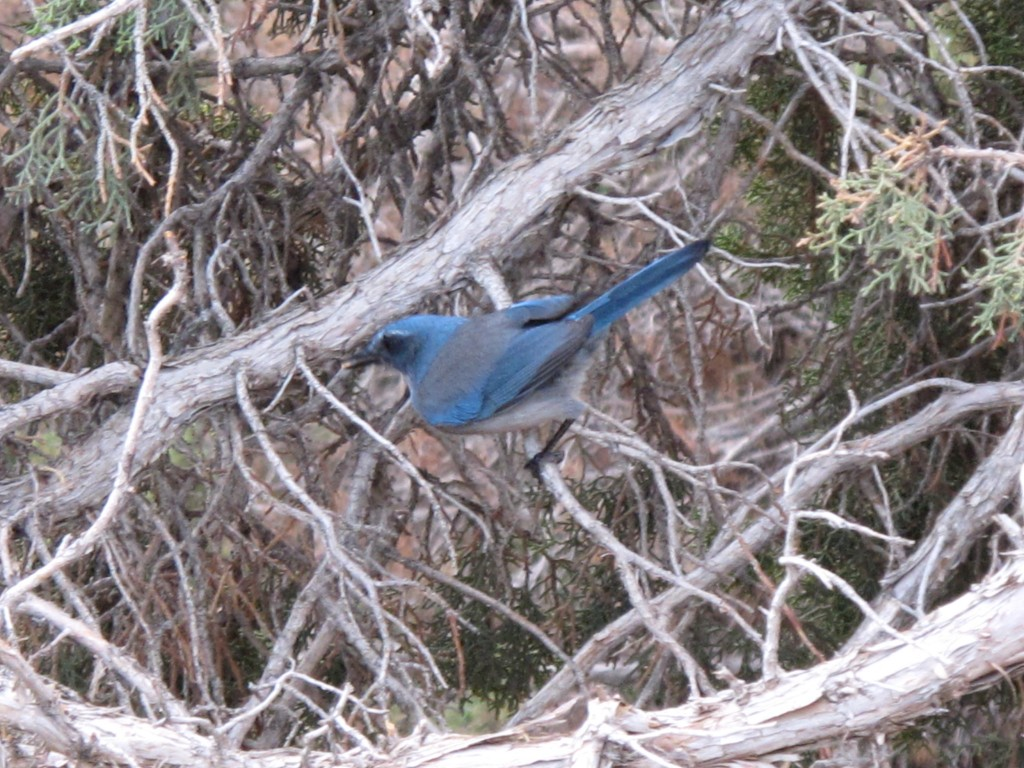 I scrambled to get a photo of this lovely bird at a rest stop in a desolate stretch of Idaho. Please correct me, ornithologists, but it looks like a Western scrub-jay.