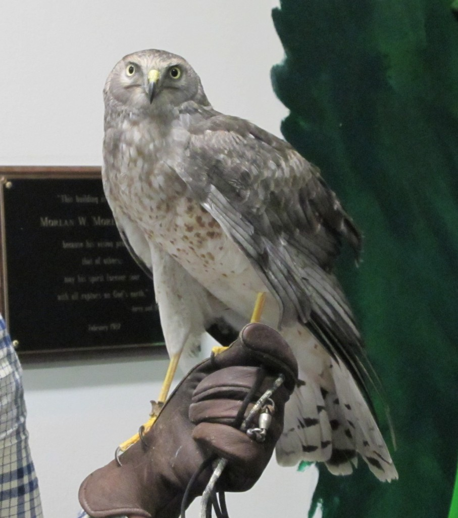 A volunteer brought out a Northern harrier for us to see.
