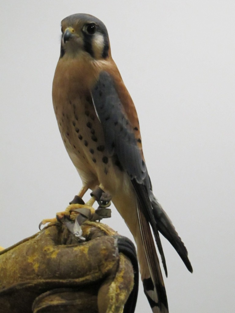 Another volunteer at the World Center for Birds of Prey brought out this American kestrel, the smallest type of falcon in North America and now one of my favorite birds.