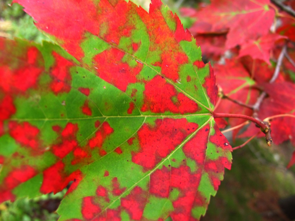 The maples on the Maine coast are turning, as they produce anthocyanin—the same powerful antioxidant that gives fruits such as blueberries and grapes their color and cancer-fighting potency.