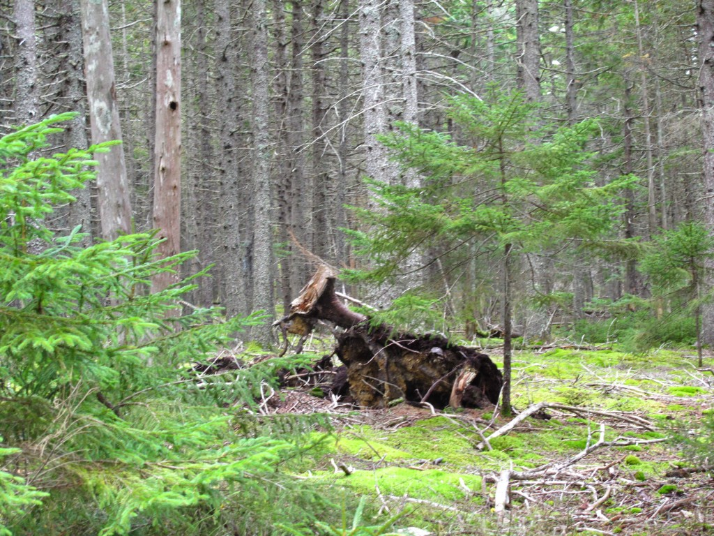 Is this a downed tree or steer lying in a clearing? Though Acadia isn't known for its cattle, we'll say both.