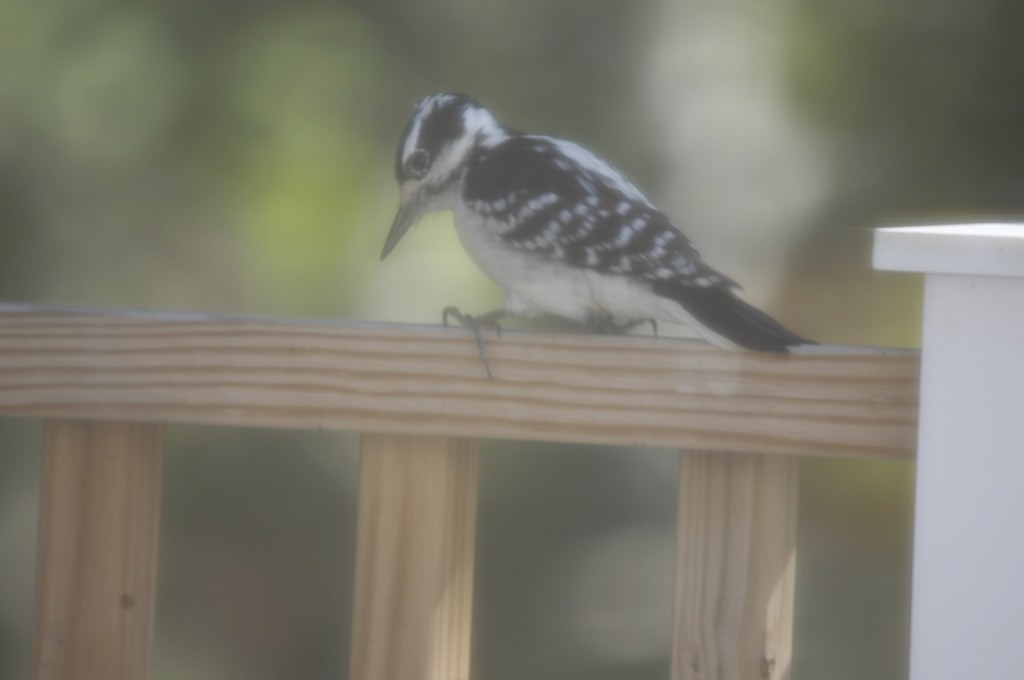 Woodpecker or railbird? This was shot through a window with a screen on it.