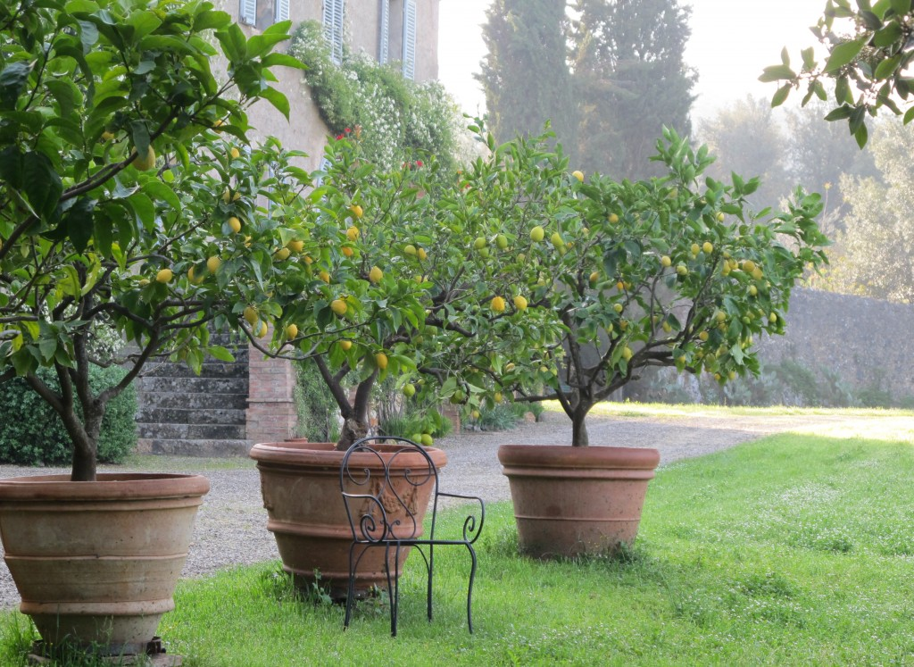 Our morning drawing sessions usually began on the lawn near these lemon trees.