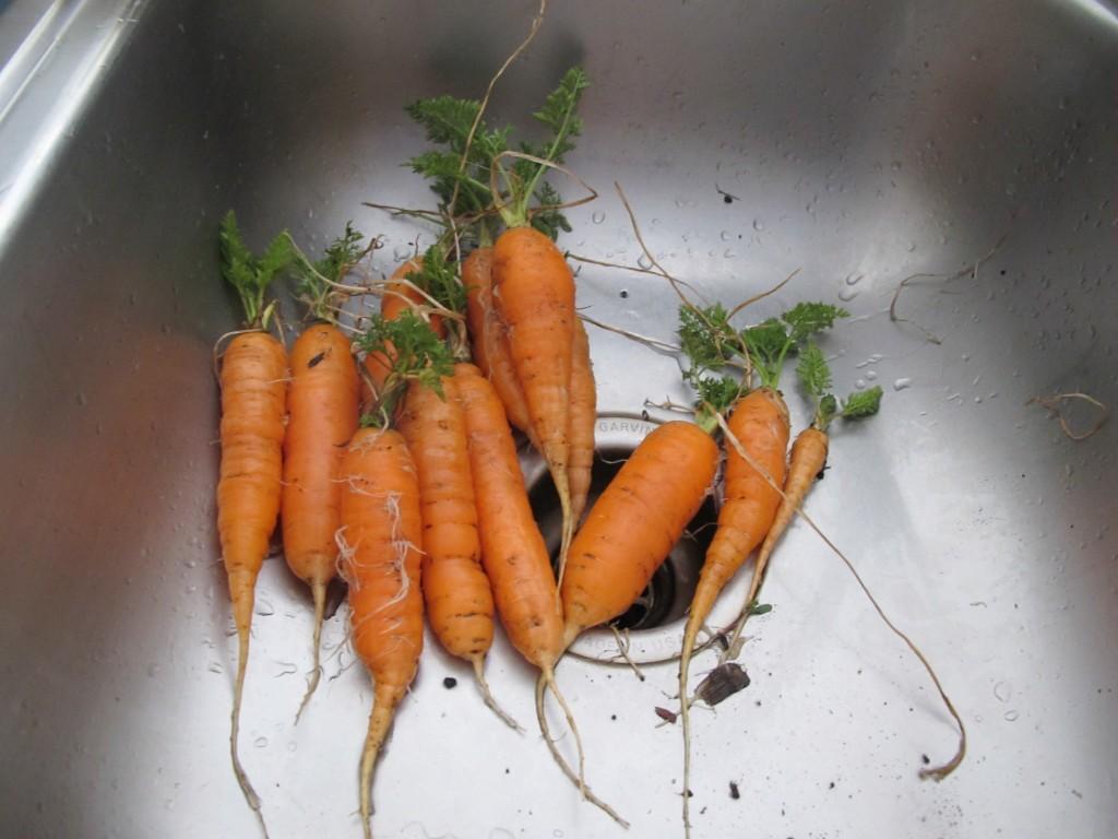 Yesterday's surprise harvest!