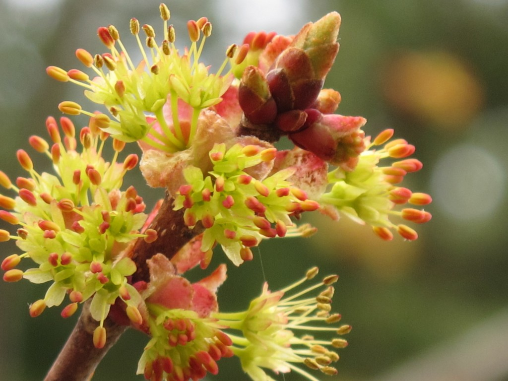 Flowers on a red maple