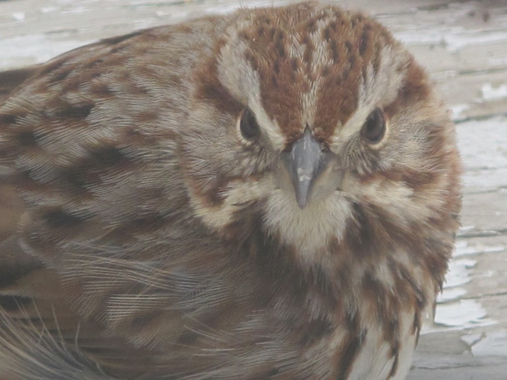 The flocks of birds around our home keep growing. Nearly three dozen goldfinches and purple finches have been chirping and feeding together. This sparrow took a close-up look at Pamelia through a glass door.