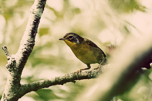 A common yellowthroat