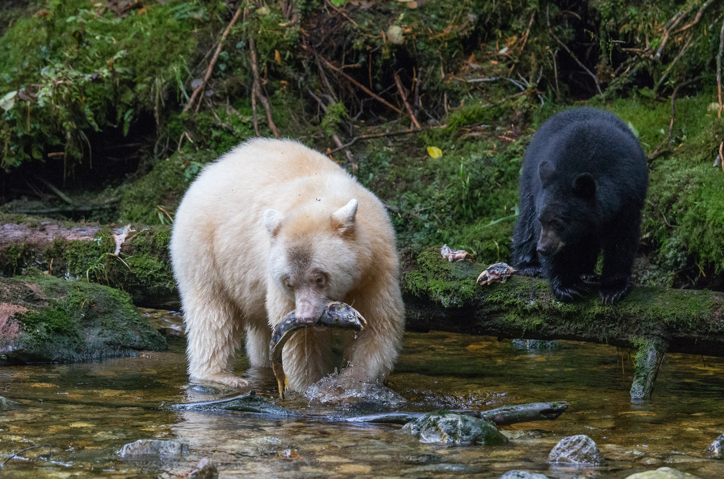 Kermode bears have been known to catch and feast on as many as 80 salmon in one session. Five species of Pacific salmon spawn in the streams of the Great Bear Rainforest. (photo by Jenny Varley)