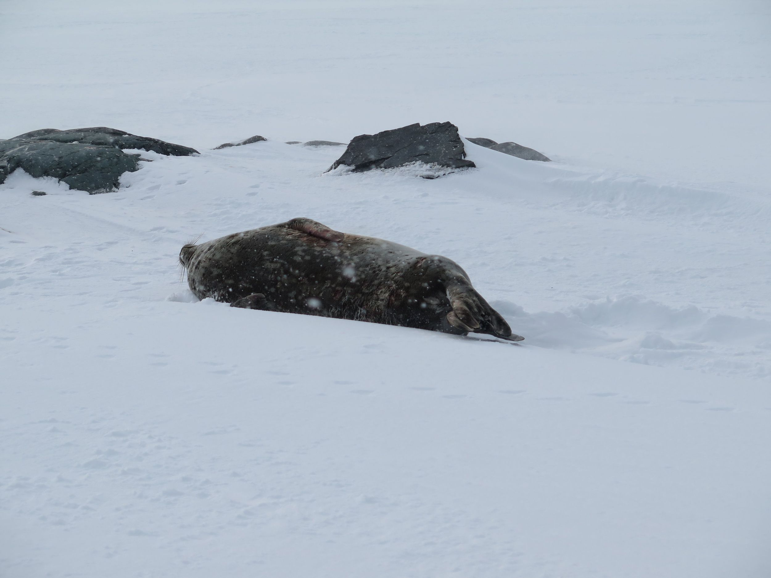 A lone Weddell Seal served as our Antarctic welcoming party. Weddells (named for British sealing captain James Weddell, who first saw them in the 1820s in the Antarctic waters now known as the Weddell Sea) have the most southerly distribution of any mammal. They're found only around Antarctica, and their range extends much farther south than the tip of the Antarctic peninsula, which we had reached.