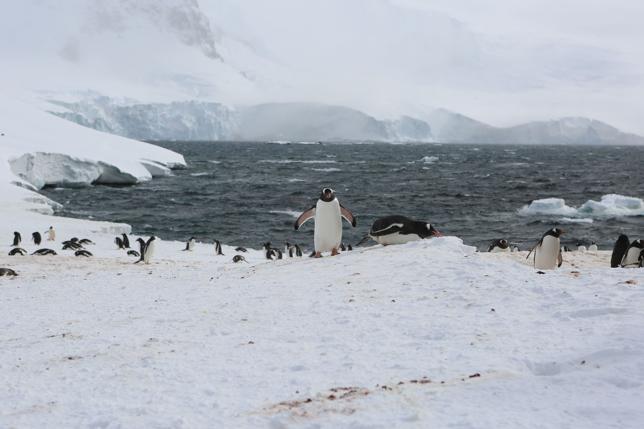 As I've written previously, the 30-inch-tall gentoos are the third-biggest species of penguin after emperors and kings. They're long-tailed penguins closely related two other species that we would unexpectedly see at Mikkelsen in the hours ahead—chinstraps and Adelies; in the course of evolution their genus broke off from those of other penguins 38 million years ago.