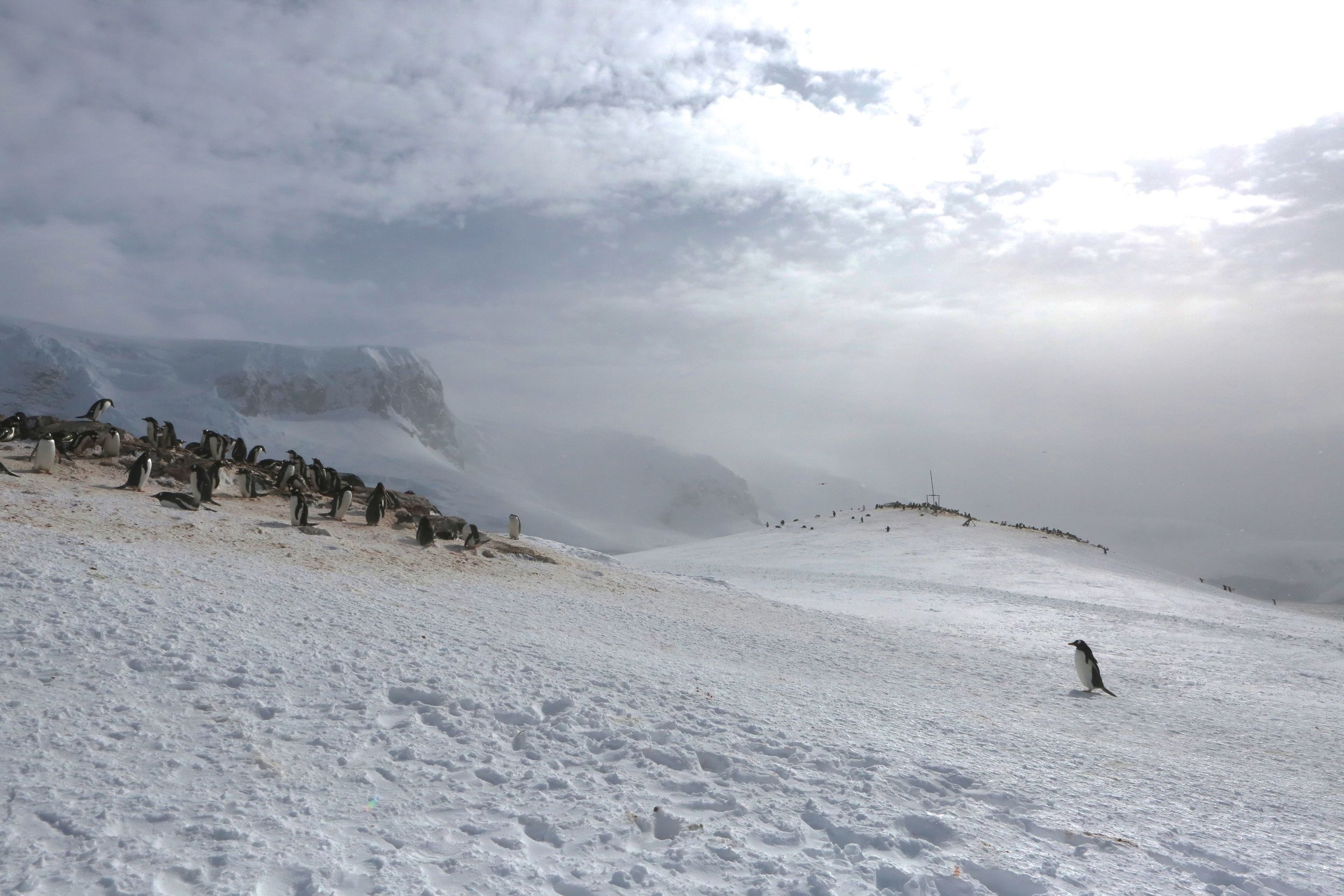 The rolling terrain at Mikkelsen is home to breeding and nesting gentoo penguins, which were clustered in several spots.