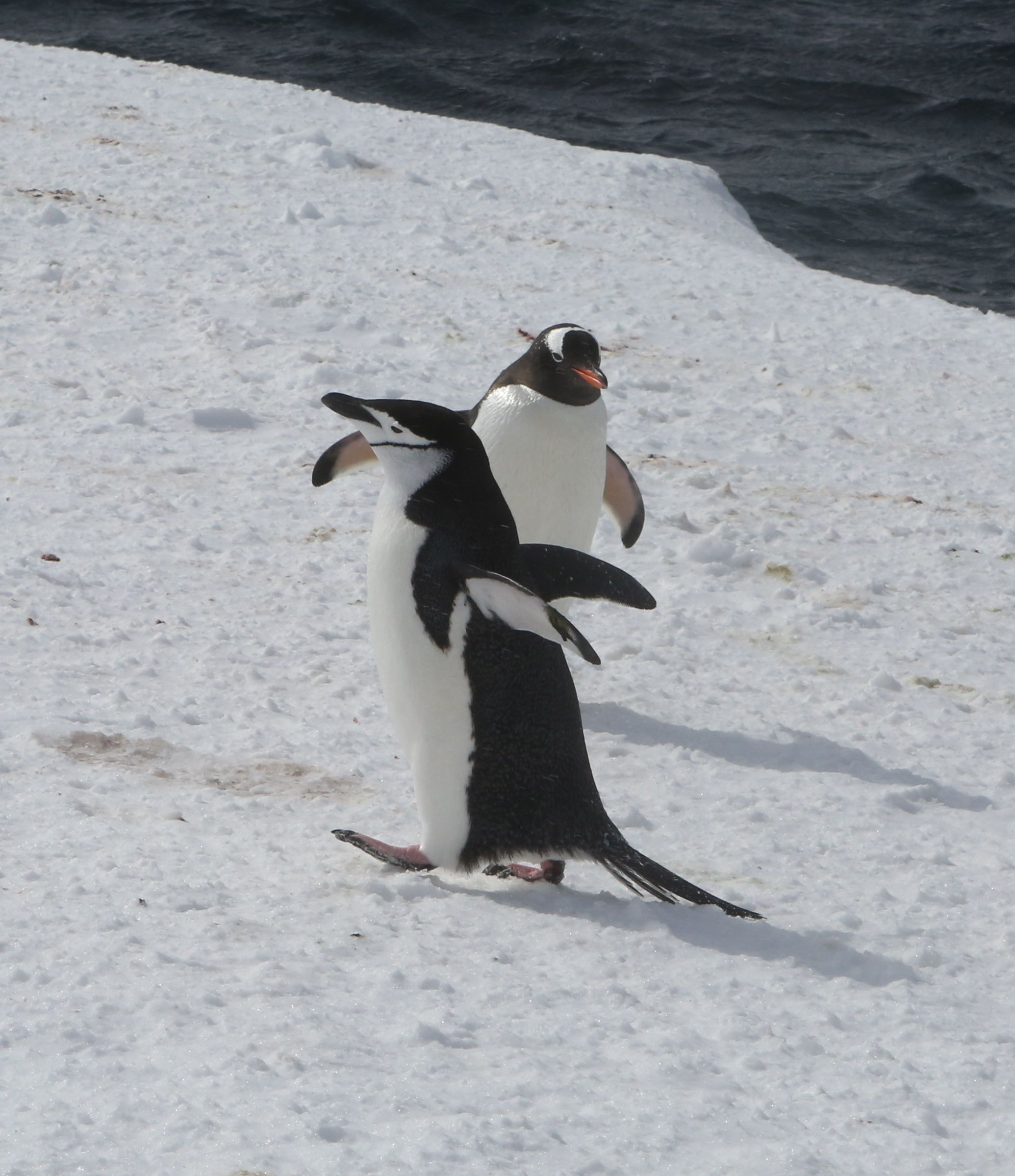 The chinstrap and a gentoo passed each other without incident—or even acknowledgement.