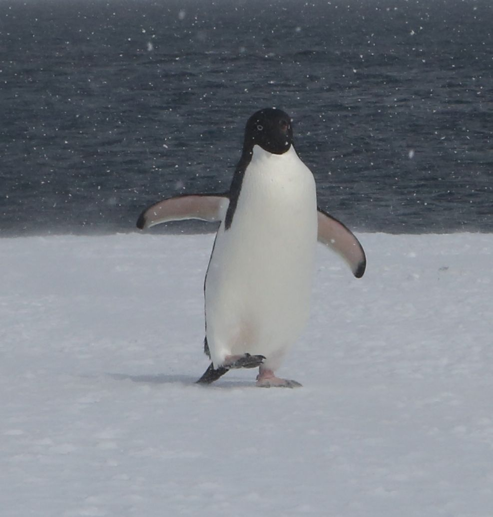 Adelies stand between 18 and 28 inches tall and have particularly long tails. Their numbers have been declining on the Antarctic peninsula (perhaps because of warming conditions and melting ice), but not (yet, anyway) in Antarctica as a whole.