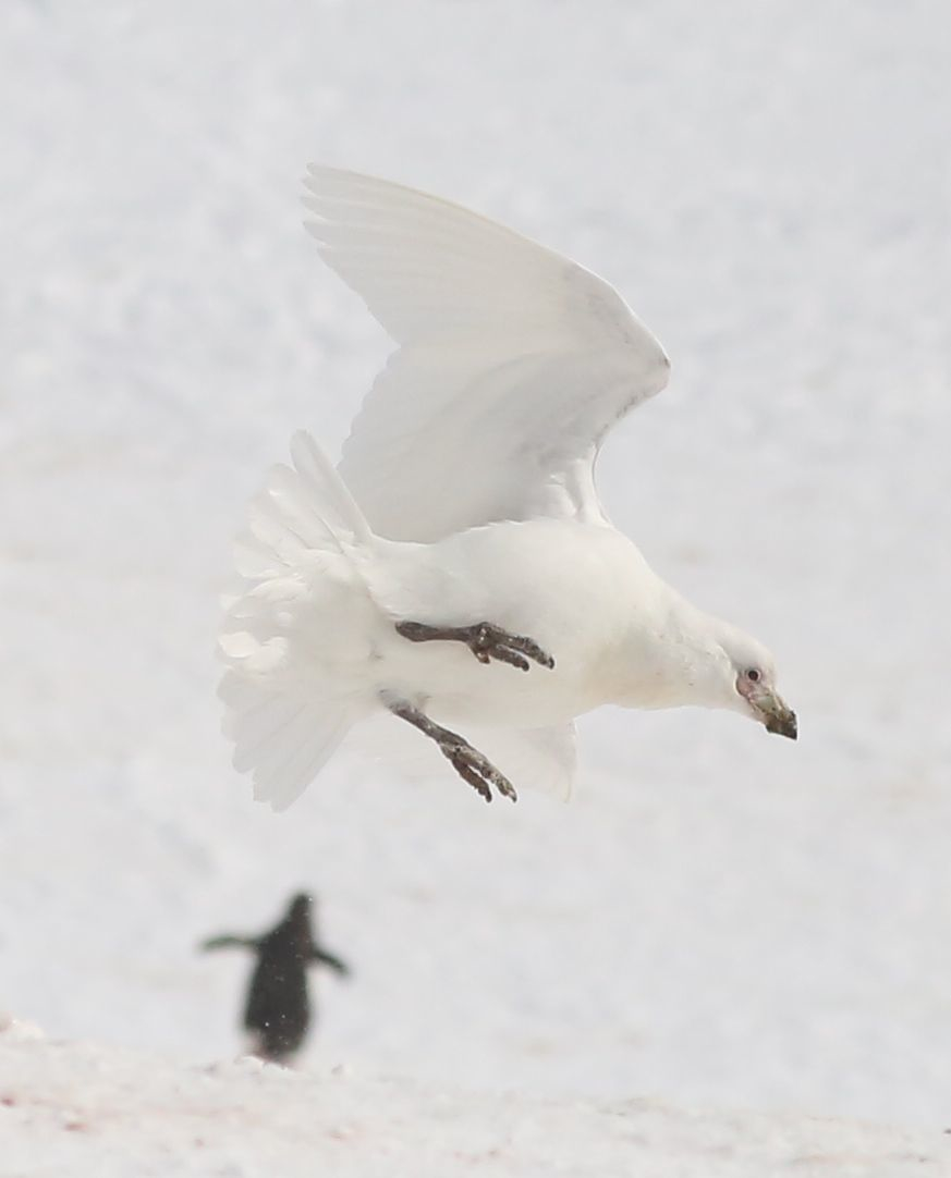 I love this shot Pamelia took of a swooping sheathbill.
