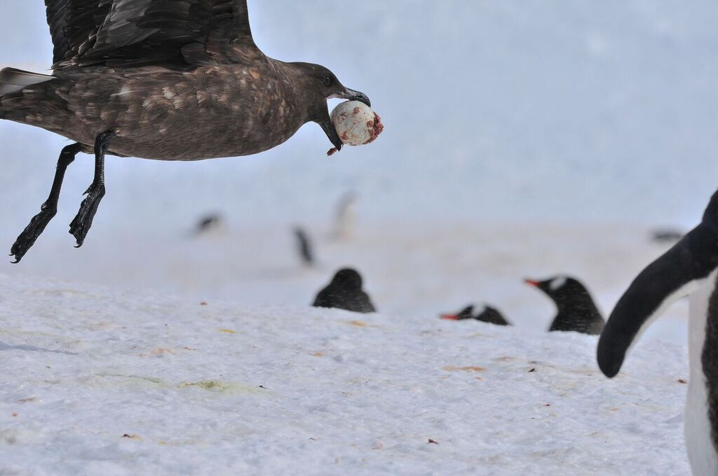 ...a predatory skua might have stolen one. (photo by Ruedigger Loechner)