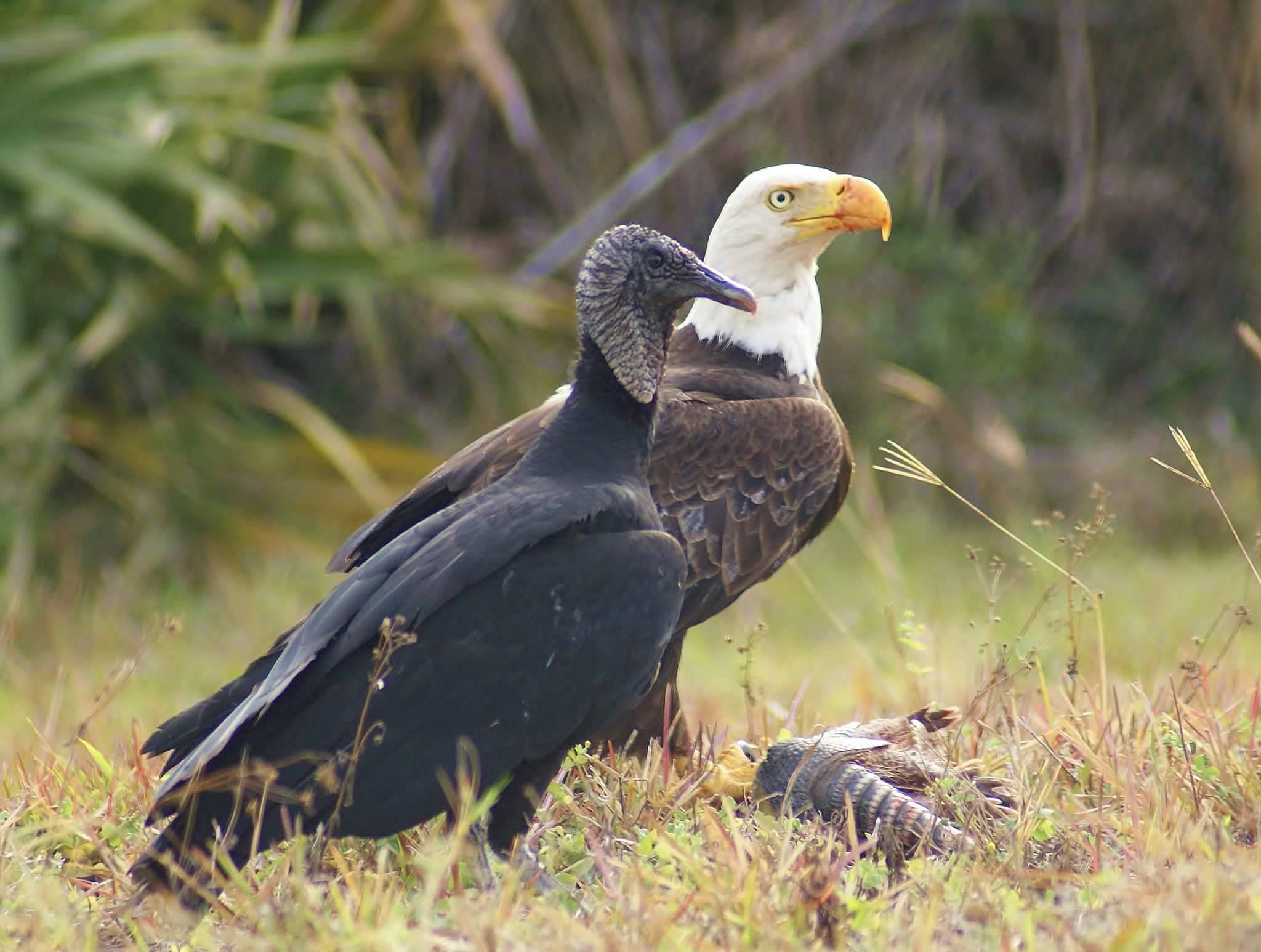 Photo of black vulture, bald eagle and armadillo by Angela Williams-Tribble