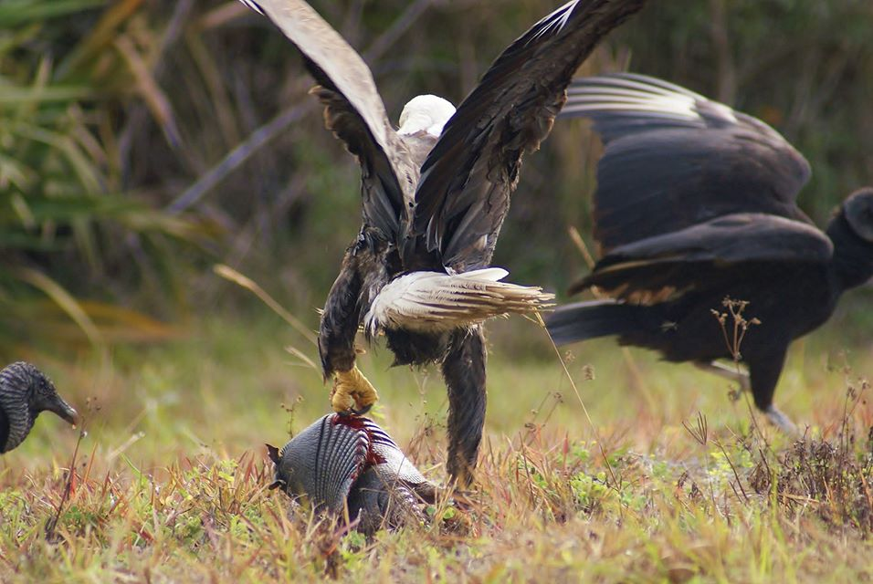 At one point the eagle tried to fly off with the armadillo, but it was too heavy. Photo by Angela Williams-Tribble