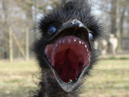 emu with teeth