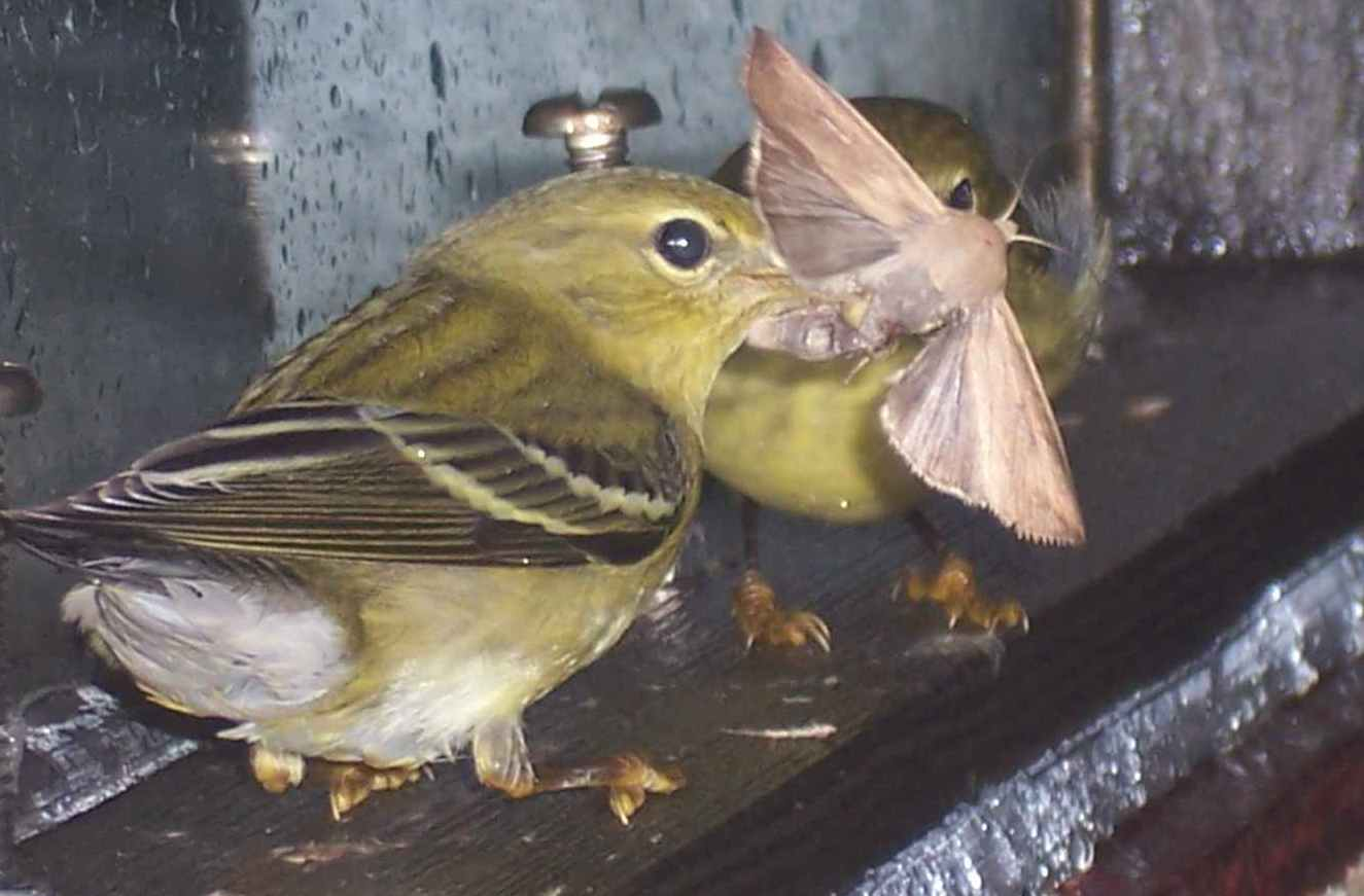 Two blackpoll warblers share a potentially lifesaving midnight snack—a reminder of how important insects are to the survival of birds. (photo by Ralph Eldridge)