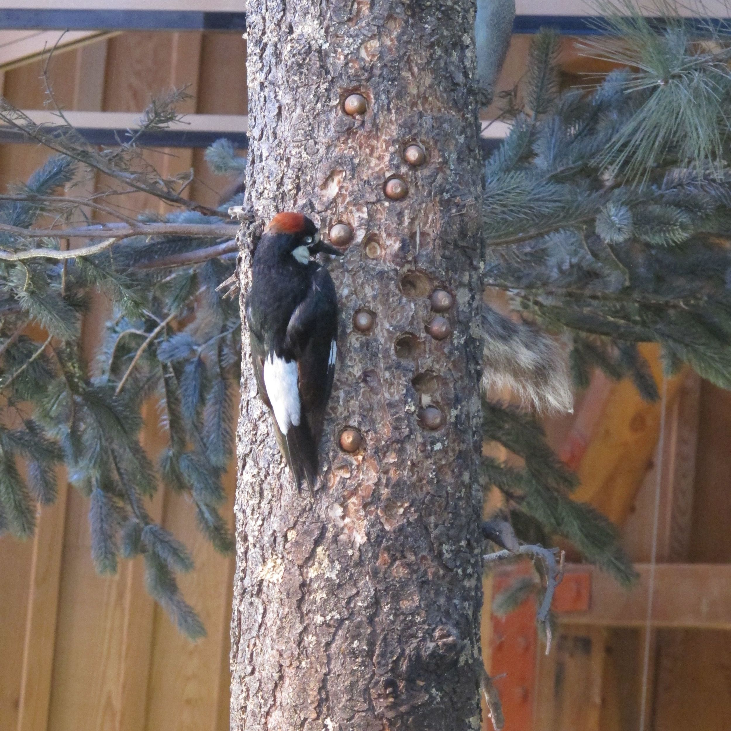 Here's the photo I took of the taxidermied acorn woodpecker at the Point Reyes visitors' center. It's a remarkable sight, but wait until you see the next photo.