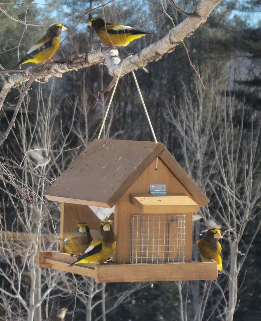 Photograph taken by Craig Neff at the Maine cabin of the great naturalist, biologist and writer Bernd Heinrich—an evening grosbeak mecca.