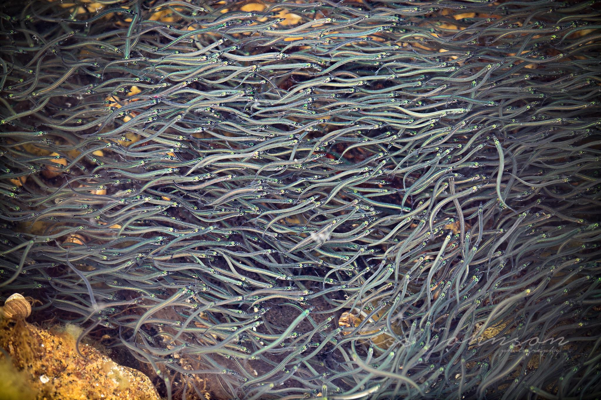 Photo of elvers by Tess Johnson in Maine.